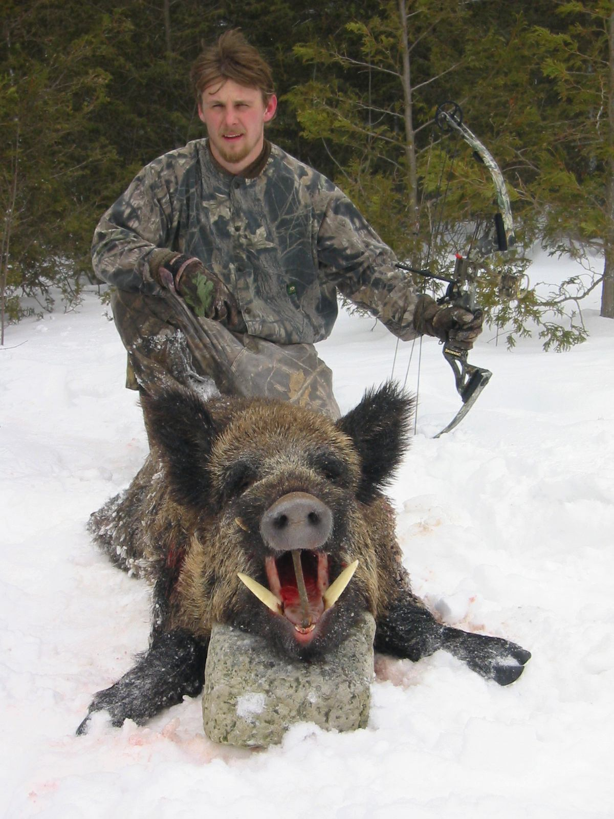 HUNTING WILD BOAR GERMAN HOGS PIGS HUNTING BIG TUSKS WILD BOAR